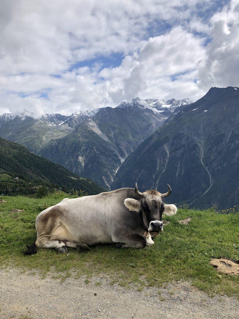 Kühe aus dem Ötztal